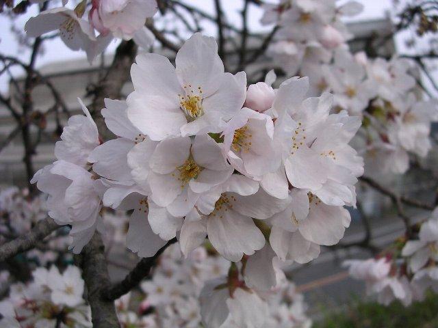 春ですな.JPG